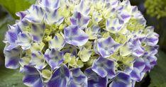 Ob im Topf oder im Freiland: Einige Hortensien brauchen einen guten Winterschutz, um die kalte Jahreszeit gut zu überstehen. So überwintern Sie die Blütensträucher.