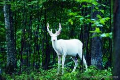 White deer by Jeff Richter ( via @Lori Cameron-Osborn )