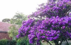 Tibouchina lepidota 'Alstonville', Cammeray NSW, late march