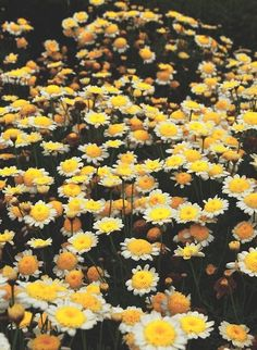 flowers, yellow, and daisy afbeelding