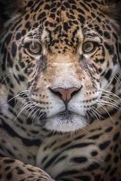 Jaguar Up Close by helenehoffman on Flickr.