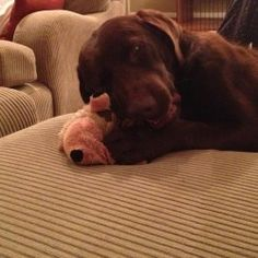 Available Labs | Labrador Friends of the South