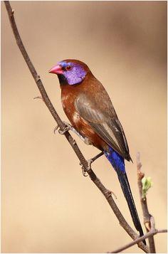 Violet-eared waxbill | Flickr - Photo Sharing!