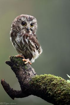 ❤ Une Petite Nyctale ❤ photographiée par Megan Lorenz ____________________________________ A Northern Saw-whet Owl, photographied by Megan Lorenz