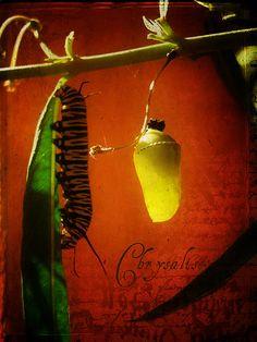 The Monarch Caterpillar feeding next to the Monarch Pupae #caterpillar #Nature