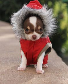 Effective Potty Training Chihuahua Consistency Is Key Ideas. Brilliant Potty Training Chihuahua Consistency Is Key Ideas. Cute Chihuahua, Chihuahua Puppies, Cute Puppies, Cute Dogs, Dogs And Puppies, Chihuahuas, Doggies, Awesome Dogs, Teacup Chihuahua