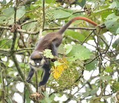 https://flic.kr/p/pKqPtn | Red-Tailed Monkey, Uganda