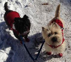 Westie and Cairn Terrier