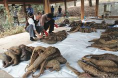 Pangolin extinction on the horizon if chinese medicinal use continues.