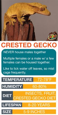 Learn the basics of Crested Gecko habitat setup and ca… Crested Gecko Care Sheet. Learn the basics of Crested Gecko habitat setup and care needs before bringing home your new pet. Crested Gecko Habitat, Crested Gecko Vivarium, Crested Gecko Care, Reptiles And Amphibians, Les Reptiles, Cute Reptiles, Gecko Terrarium, Reptile Terrarium, Gecko Cage