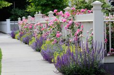 White wooden fence with flowers. Pink roses, blue sage, purple catmint, green and yellow lady's mantel.