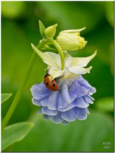 Ladybug on a Granny's Bonnet (Aquilega) flower