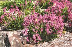 Anigozanthos Bush Pearl (Common Name - Kangaroo Paw) Pot - Dawsons Garden World Australian Native Garden, Australian Plants, Bushes And Shrubs, Kangaroo Paw, Drought Tolerant Landscape, Herbaceous Perennials, Dream Garden, Garden Bed, Small Trees