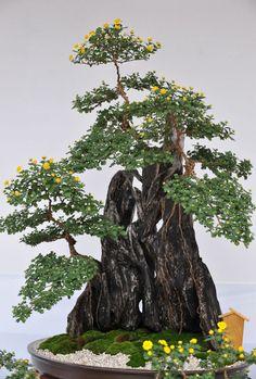 yellow flowering bonsai tree~