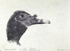 FLORENCE, Hercule - Anas moschata - 1826 - Aquarela - 18,7 x 24,7 cm - Coleção Arquivo da Academia de Ciências (São Petersburgo)