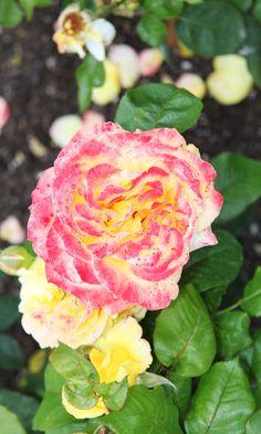 One of the many beautiful roses surrounding the castle. Copyright: Rosenborg Castle / Rosenborg Slot