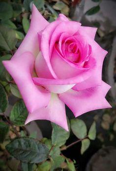 4651 Best Beautiful Rose Flower Images In 2019 Beautiful Flowers