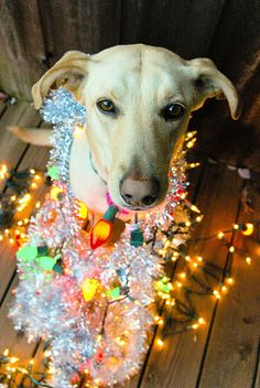 Dog Wrapped in Christmas Lights - AND garland!
