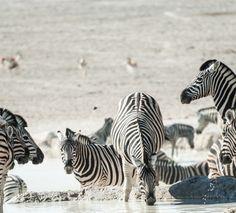 Drinking Zebras at Etosha National Park in Namibia