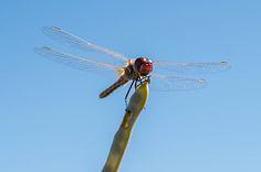 Dragonfly | by oriettabussolino | http://ift.tt/2b2M9nb