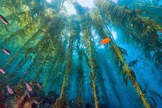 https://www.rivieraoggi.it/wp-content/uploads/2017/03/Una-foresta-naturale-di-alghe-kelp.-Le-kelp-sono-commestibili-ma-si-usano-anche-per-produrre-biodiesel-780x519.jpg