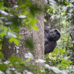 op Shot: Hide and Seek | Photograph by David Korte |  A gorilla peeks from behind a tree while scaling a liana in the forest of Moukalaba-Doudou National Park in Gabon.  Your Shot editors choose the Daily Dozen from thousands of recent uploads. Top Shot is the photo that earns the most votes. #gorillas #nationalpark #findyourpark #yourshot #topshot #dailydozen #hide #natgeo