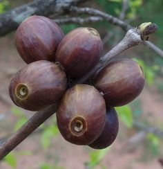 Coffea racemosa - berries