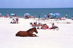 Chincoteague Pony Sunbathing With Everyone Else Beach Ponies Delmarva Peninsula