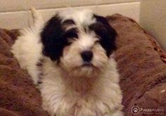 Puppyplaats.nl - Maltipoo pups - Kruising: Maltezer x Poedel Toy pups