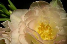 Blick in die geöffnete Blüte