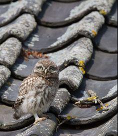 cc  Steenuil op Vogeldagboek.nl