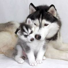 Visit link above to view our fabulous Husky gifts collection...