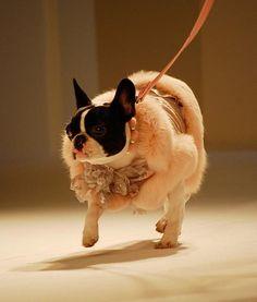 Stylish Pups Rock the Runway
