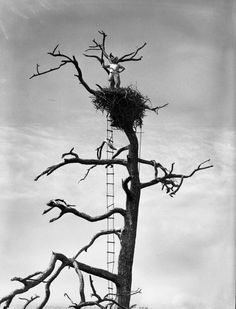 Charles Broley high atop the eagles nest! He banded more than 1,200 eagles prior to 1959 and was instrumental in identifying the link between the decline of eagles and the use of DDT. (1948) | Florida Memory