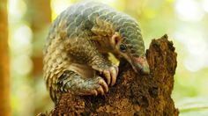 The IUCN pass a pangolin resolution that is a victory for all pangolins. They have been granted protection. PHOTO: ©1StopBrunei Wildlife