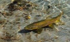 photos of swimming trout - Yahoo Image Search Results Trout Fishing, Fly Fishing, Fishing Australia, Fishing Times, Brown Trout, Fishing Charters, Fishing Villages, Nature Animals, Landscape Photography