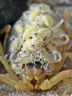 Escorpião (mamãe e bebês). Mamãeestá protegendo seus bebês bonitos