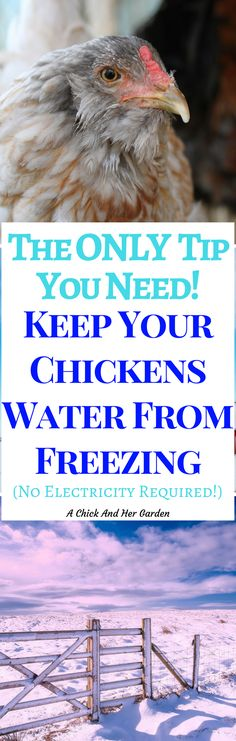 One of the biggest struggles with chickens in the winter is keeping their water from freezing!  Keep you chickens water from freezing with this one simple tip!  No electricity required!