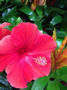 #hibiscus #flower