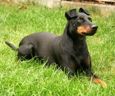 Billy ein Manchester-Terrier Manchester Terrier, Doberman, Terriers, Dogs, Animals, Animales, Animaux, Terrier, Pet Dogs