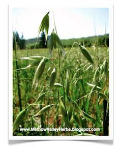 Oatstraw (Avena sativa) Oatstraw acts as a restorative nerve tonic. This makes it ideal for those experiencing stress, exhaustion, ne. Natural Home Remedies, Natural Healing, Herbal Remedies, Natural Medicine, Herbal Medicine, Oat Straw, Herbal Magic, Health Heal, Beauty Recipe