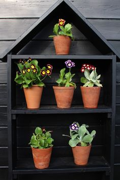 It was with a heavy heart that I boughtseven perfect little auriculas last spring, knowing full well that soon they would be dead. It is absolutely agains