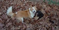 """Cheyenne and Gaia love to play in deep piles of leaves. According to their guardian, Gaia loves to hide while Cheyenne loves to seek. He said, """"It's great entertainment for me.""""  Related: Playful Siberian Husky does the most adorable thing in a pile of leaves (video) Super cute dog searches for ball in a huge pile of leaves (video) Dog has fun sliding through leaves (video)"""