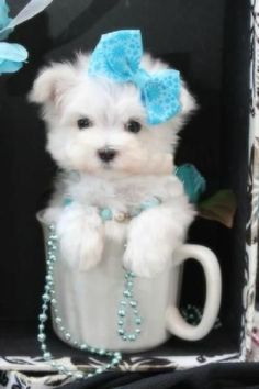 A cup of Maltese