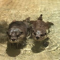 As their new habitat comes to completion, our six otters are having a wonderful time. More to come ⏩for another photo and video #asiansmallclawedotter #otter #asiansmallclawedotter #zwfmiami #zwf