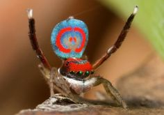 Conheça a beleza da aranha-pavão [vídeo] - Mega Curioso