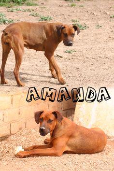 AMANDA: 2 años de edad. Con mucha fuerza y energía, sociable con otros perros. adopciones@valverdeanimal.es