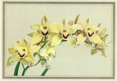 Icarus Orchids, Vintage 1950 Colorful Botanical Flower Art Print, Flowers, 7.25x9.75in, Cymbidium Exbury, FREE SHIPPING $10.00 by OakwoodView