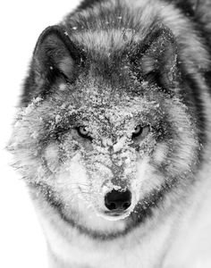 Snow Faced Wolf by Jim Cumming .