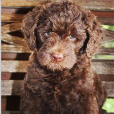 Chocolate Australian Labradoodle Puppy Brother, Chocolate Labradoodle, Australian Labradoodle, Labradoodles, Four Legged, Dog Love, Moose, Creatures, Puppies